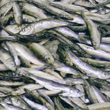 Black sea fisheries fish and fish products for Fishpond products